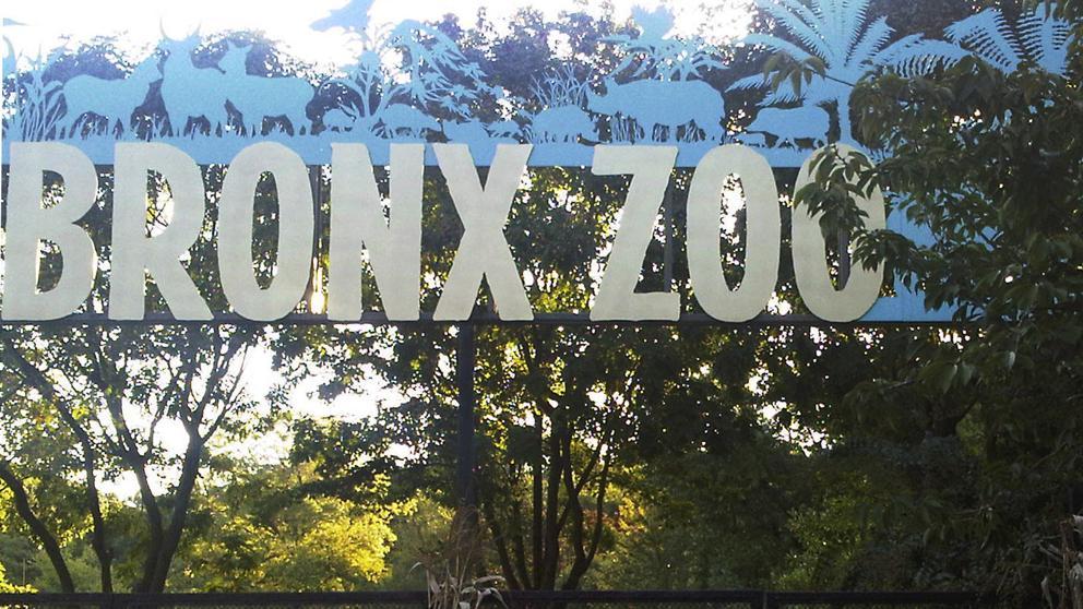 Tigre en el Zoológico del Bronx dio positivo por coronavirus   Foto: Cortesía