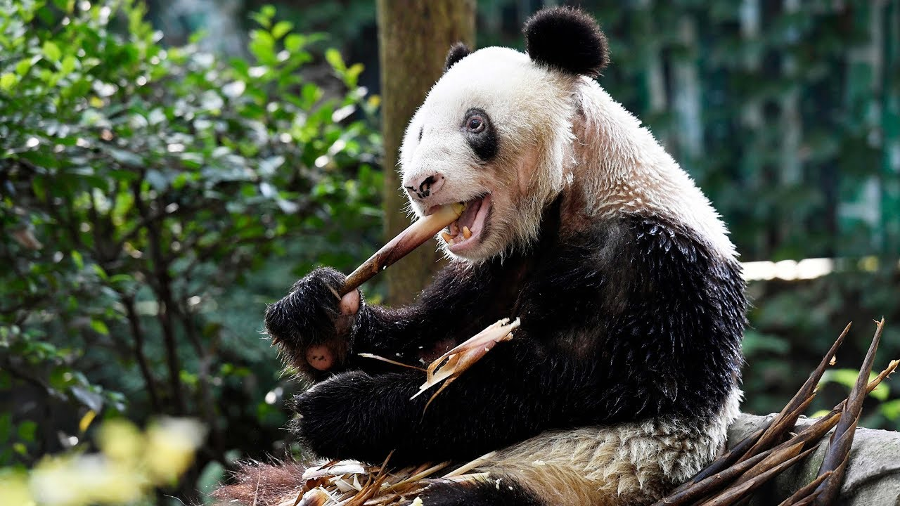 Panda-xinxing