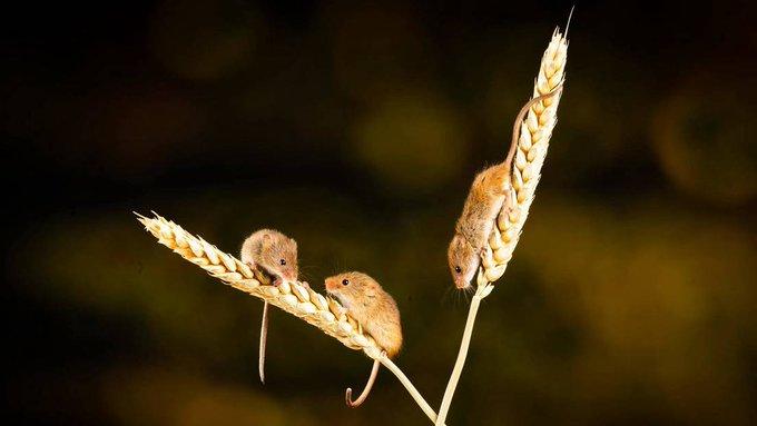 Ratones | Foto: Cortesía vía Twitter