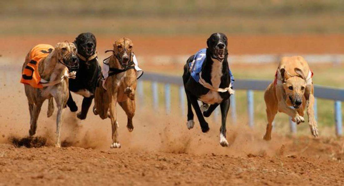 Brote canino de coronavirus (Covid-19) en Australia obliga a aislar a galgos de carrera