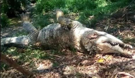 """Murió por el """"caimán llanero"""" Hércules en Portuguesa"""