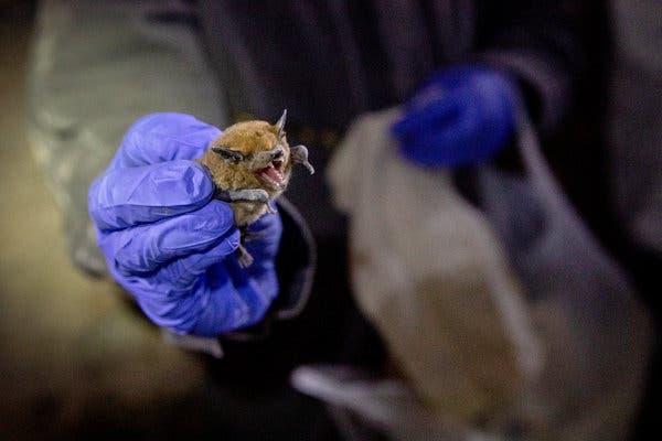 Descubrieron 6 nuevos tipos de coronavirus en murciélagos de Myanmar