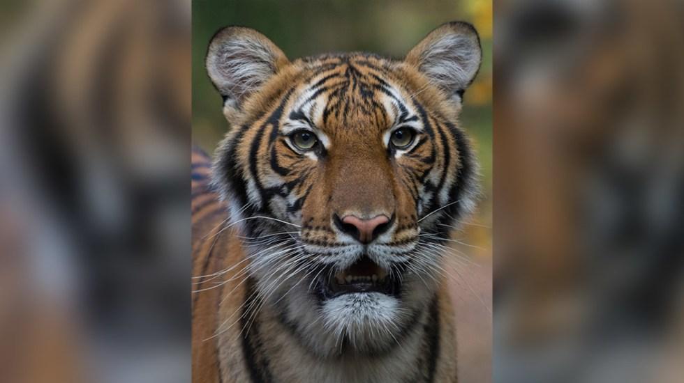 Tigre contagiado por coronavirus   Foto: Cortesía