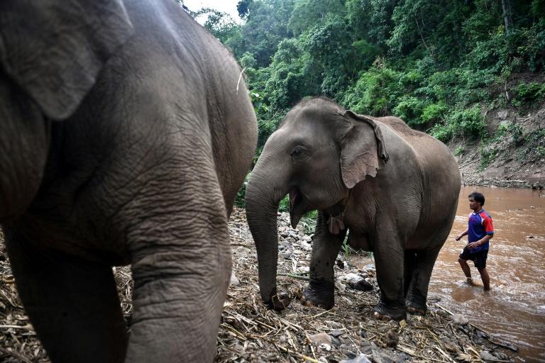 Elefantes - Covid-19