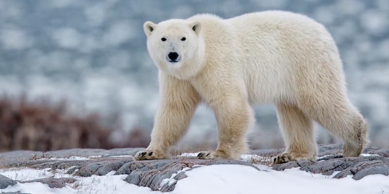 osos polares - calentamiento