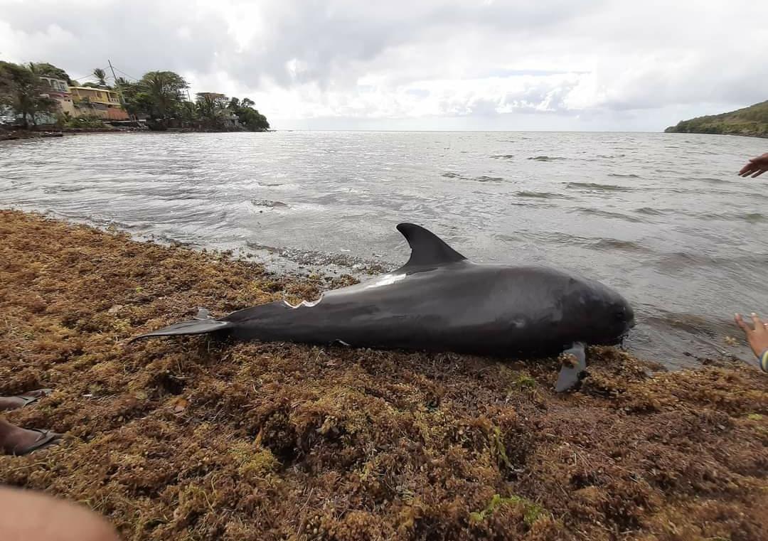 Delfines muertes en costa de Mauricio